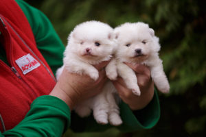 pomeranian spitz puppy for sale