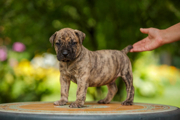 South African Boerboel puppy for sale